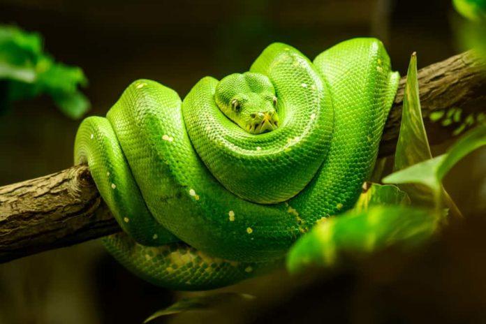 alimentazione dei serpenti