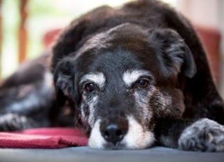 alimentazione del cane anziano