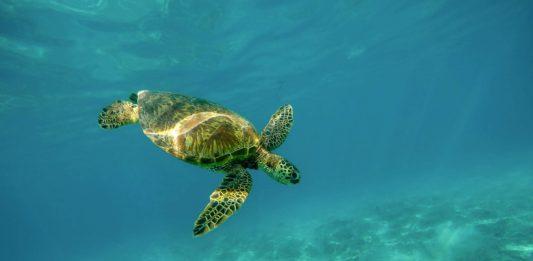 tartaruga d'acqua