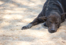 Anakin-incrocio lupoide - cane nero