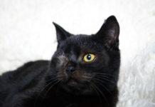 Gatto femmina nero - cieco