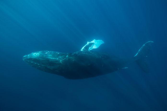 balenottera oceano