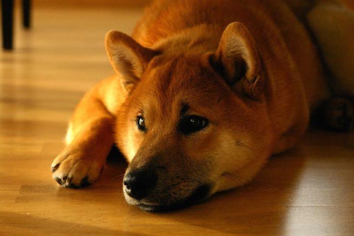 dermatite del cane