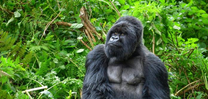 gorilla nella foresta pluviale