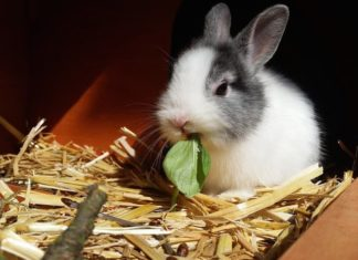 mixomatosi nel coniglio