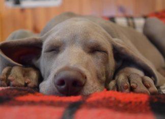 quanto dorme un cane