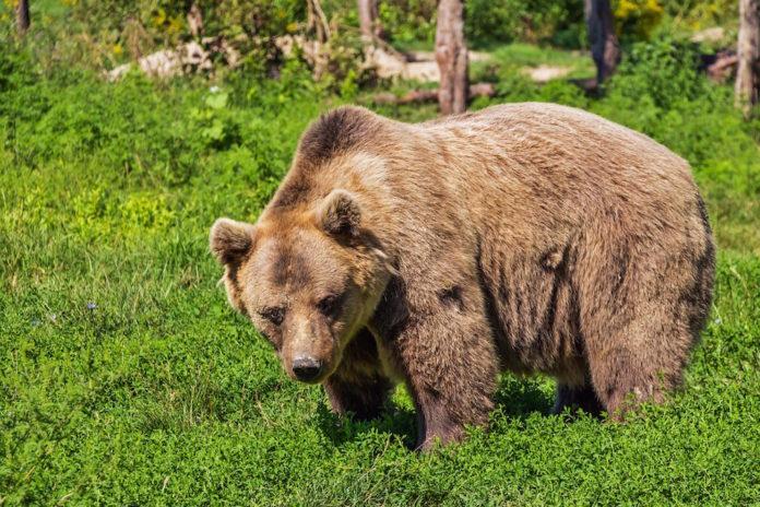orso bruno nel bosco
