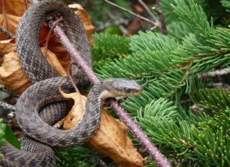perchè i serpenti fanno la muta della pelle