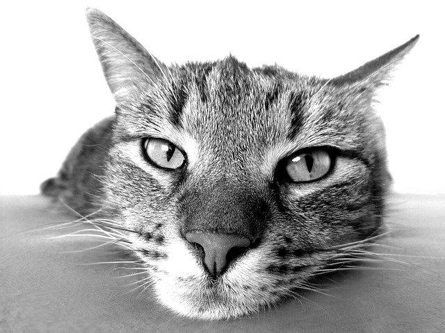 tritrichomonosi nel gatto