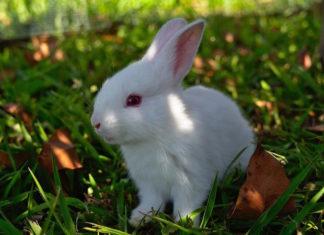 coccidiosi del coniglio