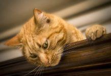 proprietario di gatto
