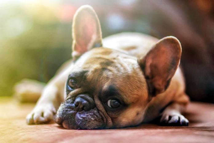 dermatite atopica del cane