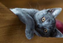 articolazioni nel gatto