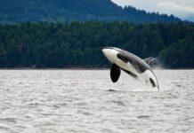orche litigano