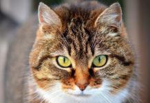 ansia nel gatto
