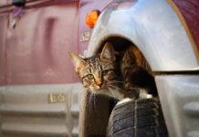 gatto e viaggio in macchina