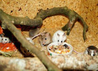 il topo domestico