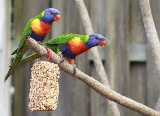 pappagalli lori