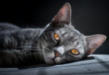 vibrisse del gatto