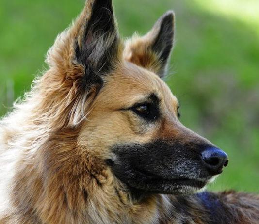 capillariosi nasale canina