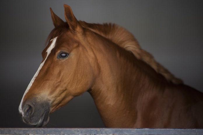 cavallo egiziano