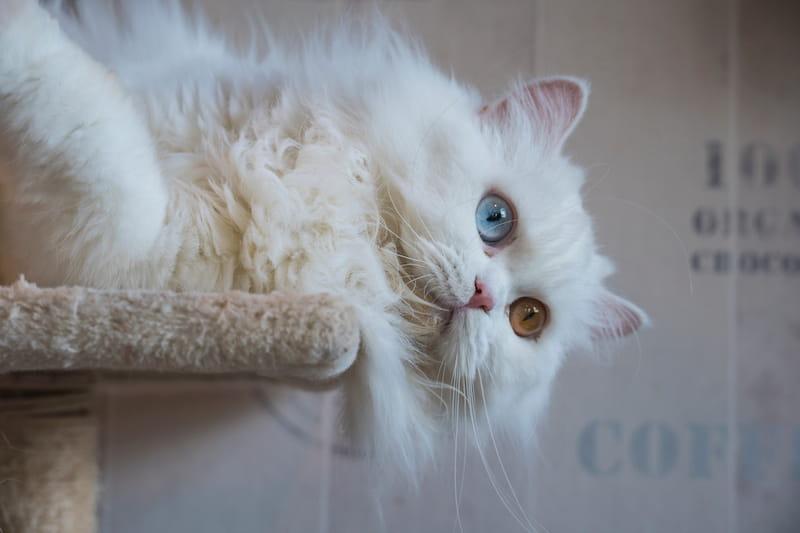 Il Gatto Persiano La Bellezza Aristocratica Proveniente Dallantica