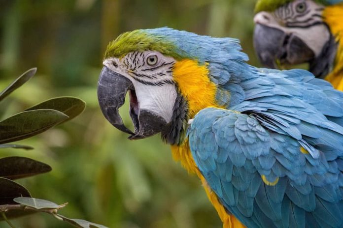 linguaggio dei pappagalli