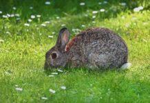 parassiti del coniglio