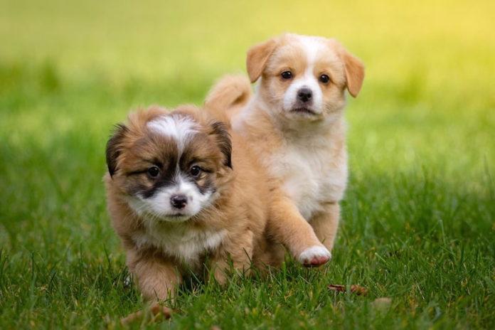 traffico di cuccioli