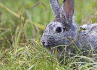principali patologie dell'apparato urinario del coniglio