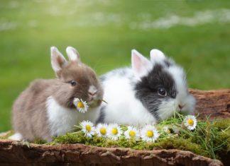 urine del coniglio