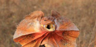 cosa mangia il clamidosauro