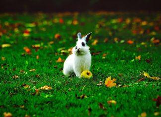 primo coniglio