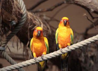 riconoscere il sesso dei pappagalli