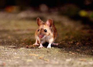 acaro del ratto