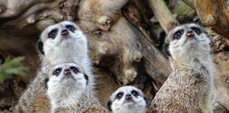 alimentazione e riproduzione del suricato