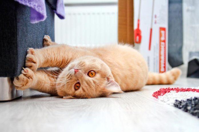difesa del territorio del gatto
