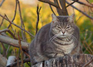 gatto ingrassa