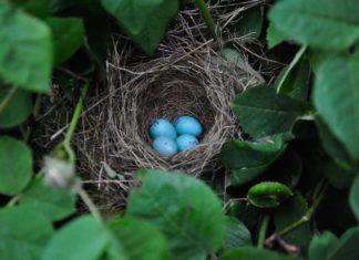 deposizione delle uova