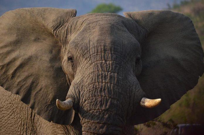 dottore degli elefanti
