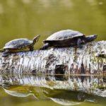 tartarughe patologie respiratorie