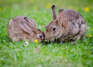 coniglio e la muta