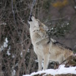 lupi italiani