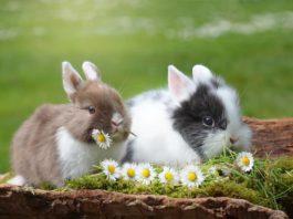 muta del coniglio
