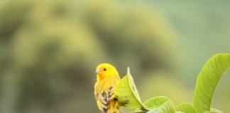 canarino selvatico