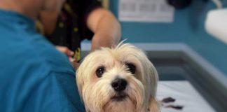 veterinario deve garantire le cure urgenti