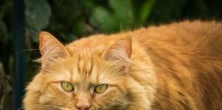 gatto di razza
