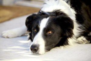 patologie prostatiche del cane 2