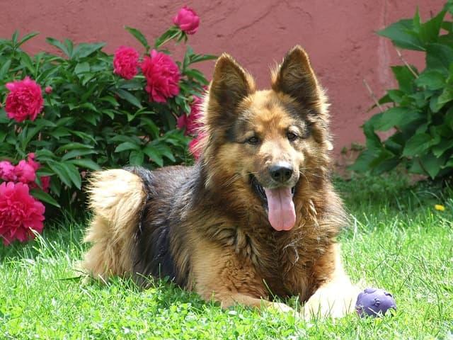 prostata del cane