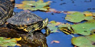 letargo delle tartarughe acquatiche